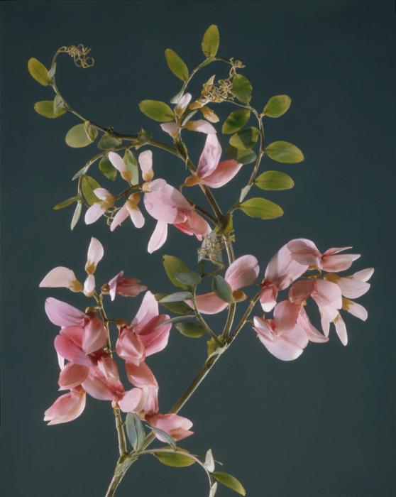 Мастера смогли создать потрясающе точные модели ботанических образцов из стекла.