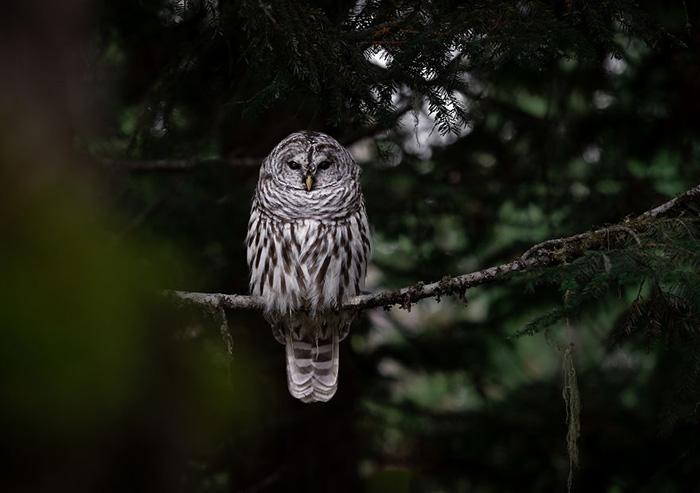 Полосатая неясыть смотрит на нас со своего насеста, когда вечер сменяется ночью. Снято в Британской Колумбии.