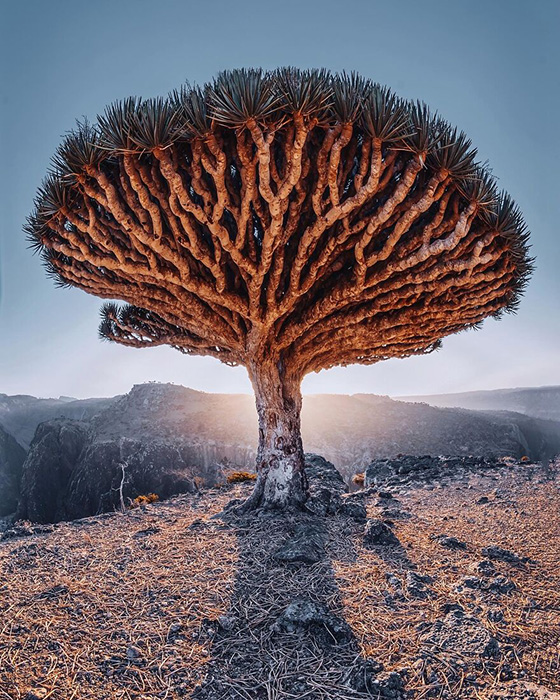 Символ Сокотры - Драконово дерево.