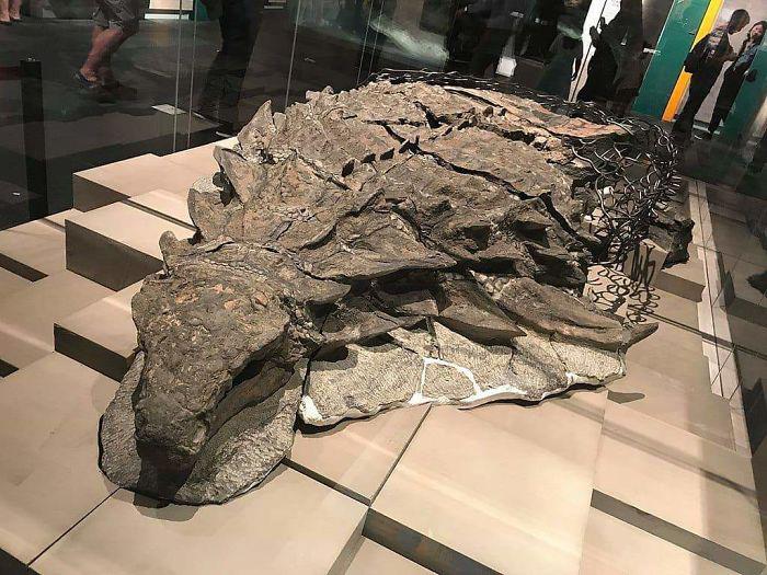 Мумифицированный динозавр в музее в Канаде.