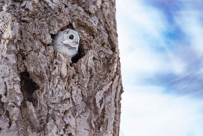 Обитают летающие белки обычно в дуплах деревьев.