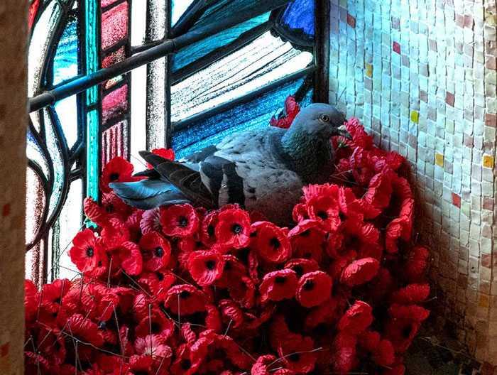 Голубь в своём гнезде из красных маков.