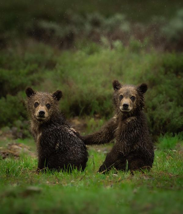 Брат и сестра гризли вместе во время утреннего дождя. Снято в Вайоминге.