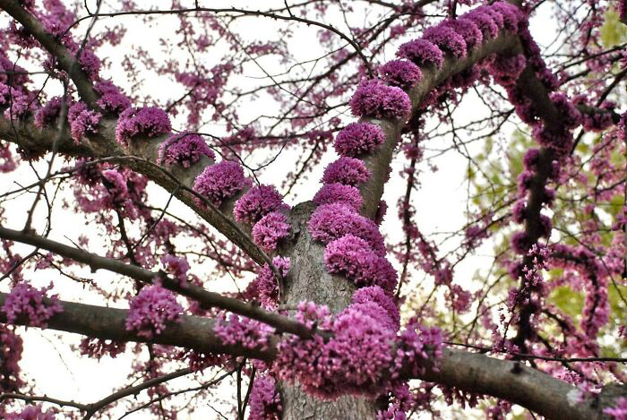 Цветущее дерево Cercis Canadensis.