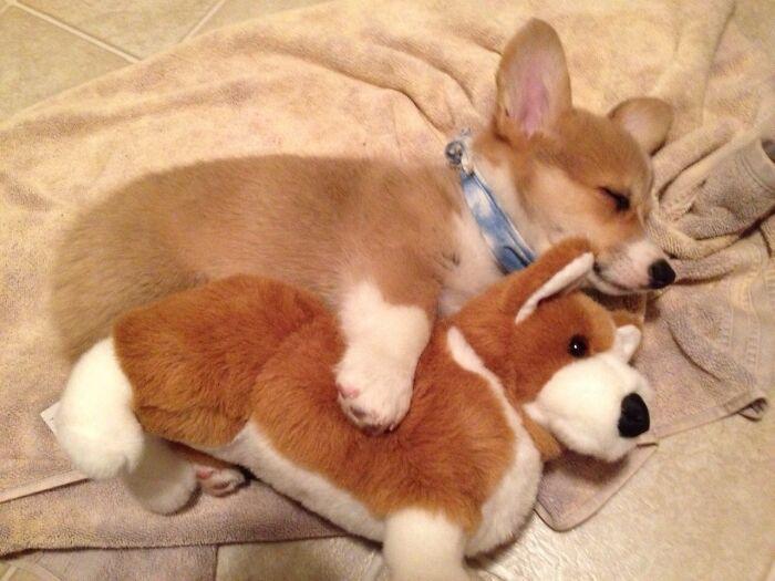 Спящий корги с игрушкой.