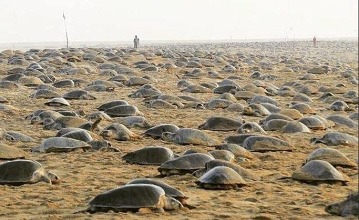Тысячи оливковых черепах смогли выйти на берег и отложить миллионы яиц.