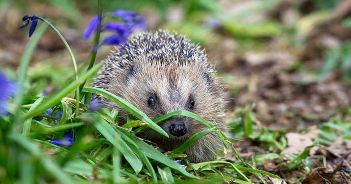 Учёные предлагают собрать всех ежей и отправить их обратно в Великобританию.