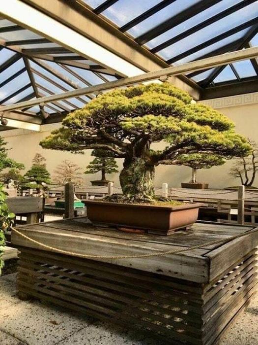 Дерево - памятник.