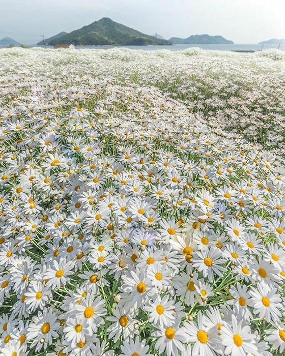 Ковёр с ромашками в парке цветов Урасима в Японии.