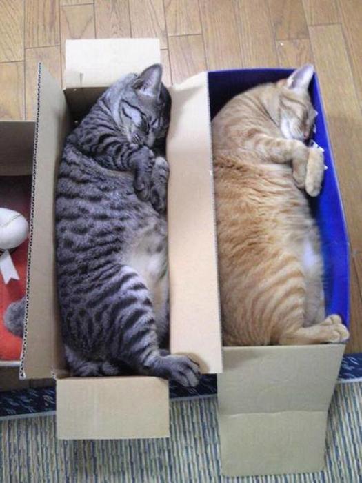 Зачем покупать кошачьи лежаки? Любая коробка лучше!