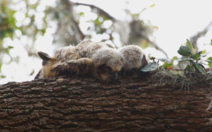 Вопреки распространённому мнению, совы спят не сидя, особенно молодые.