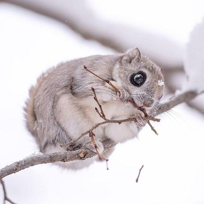Белки-летяги - это лесные животные.