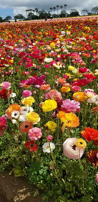 Цветочные поля в Карловых Варах, Калифорния, апрель прошлого года. Ранункулюсы любого цвета!