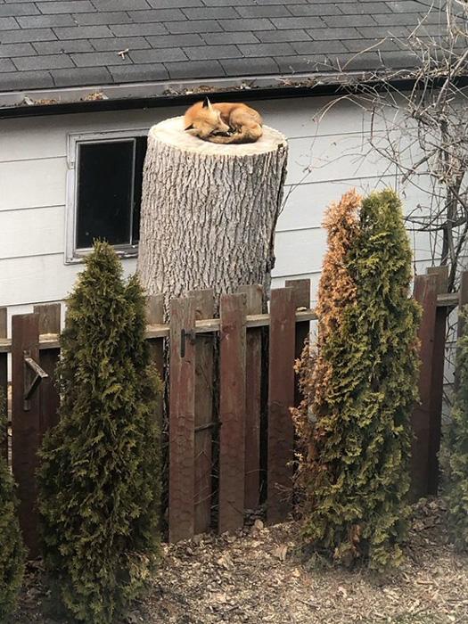 Лис спокойно спит на заднем дворе.