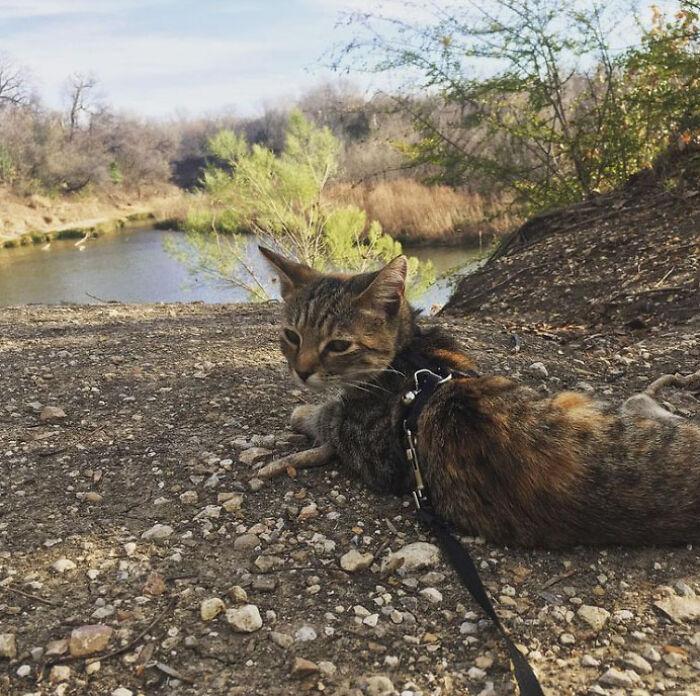 Кошка очень воспитанно ведёт себя и без проблем ходит на поводке.