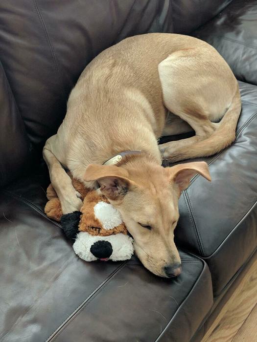 Таким обнаружил своего любимца хозяин через несколько мгновений после того, как поменял батарейки в его игрушке с небольшим сердцебиением, которая у пса была с трёх месяцев.