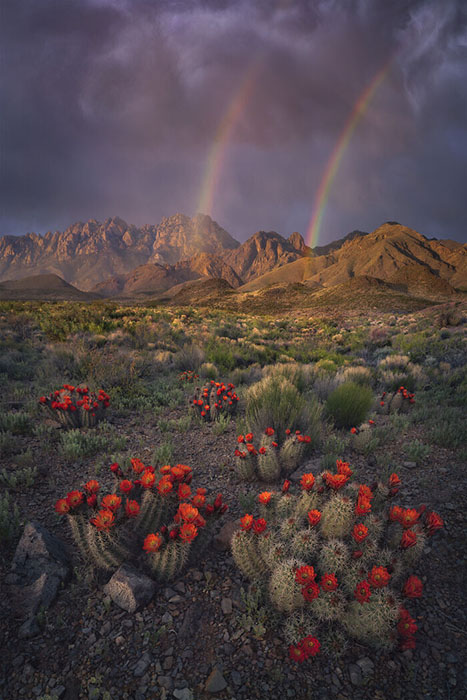 Цветущие кактусы и весенняя радуга.