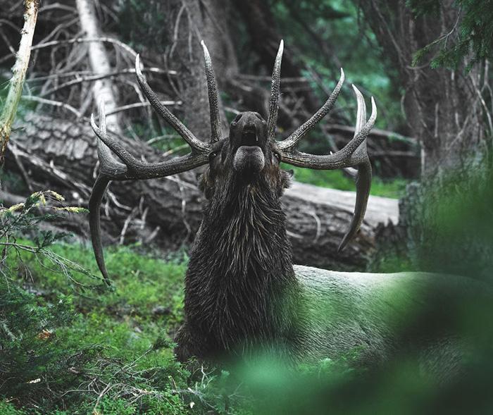Лось поднимает голову, чтобы дать брачный зов ранним утром перед восходом солнца. Снято в Скалистых горах Колорадо.