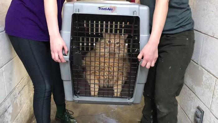 Котика с трудом подняли два сотрудника приюта.