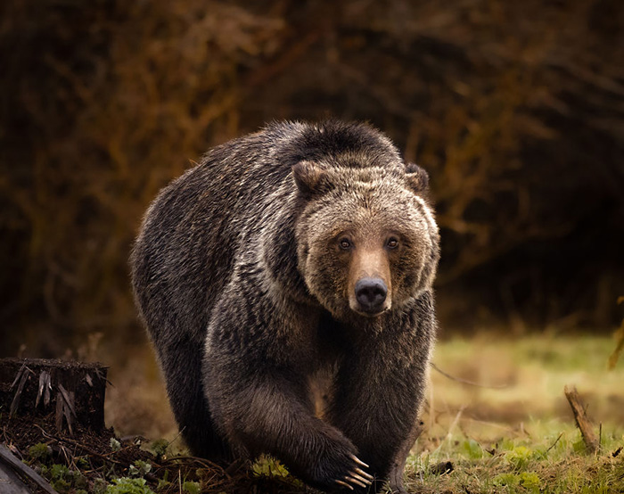 Медведь гризли шагает через канаву. Снято в Вайоминге.