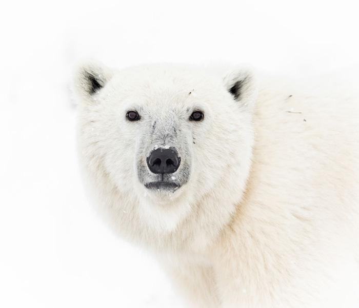 Белый медведь смотрит в прямо глаза. Снято на берегу Гудзонова залива в Манитобе.
