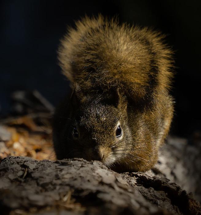 Застенчивая белка прячет свой нос в коре дерева. Снято в Юте.