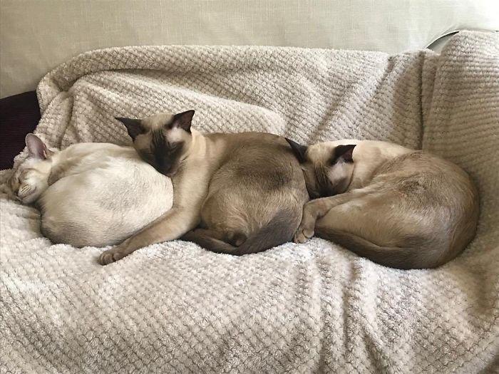 Настоящие сиамские кошки!