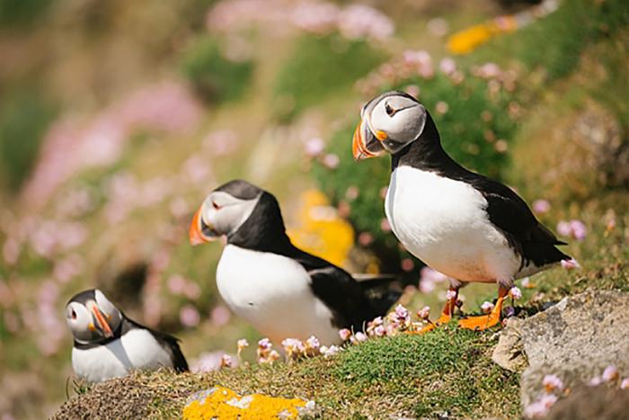 Необычные морские птицы тупики. / Фото: poseidonexpeditions.com