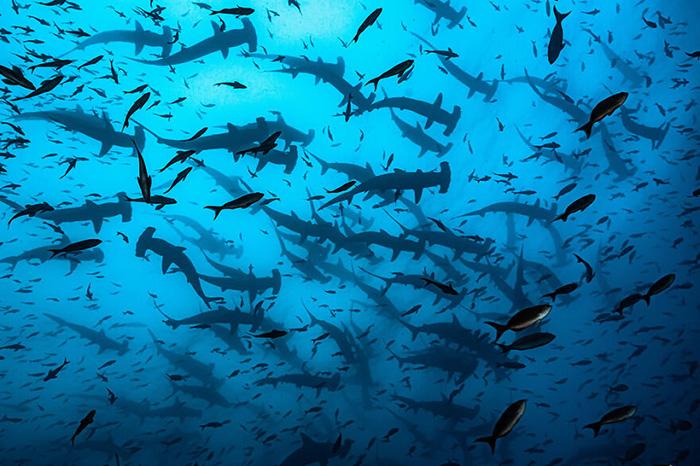 «Дрожь акул-молотов». / Фото: Родриго Томе/oceanphotographyawards.com