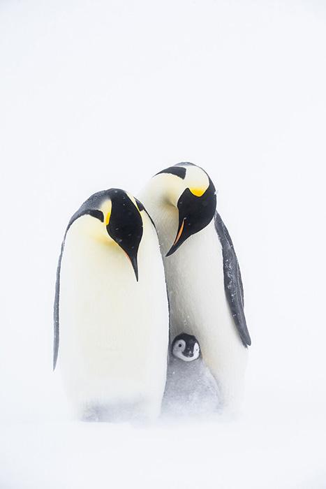 Родители. / Фото: Стефан Кристманн/oceanphotographyawards.com