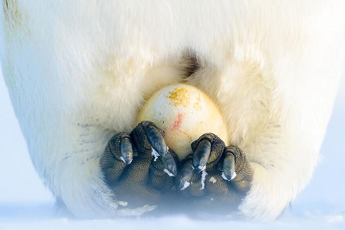 Яйцо пингвина. / Фото: Стефан Кристманн/oceanphotographyawards.com