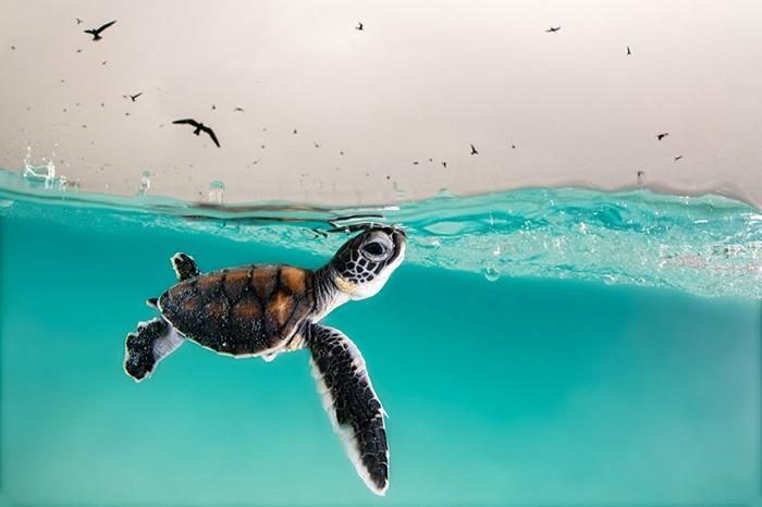 «Зелёная морская черепаха, только что вылупившаяся, осторожно всплывает на поверхность в поисках воздуха, а небо, полно голодных птиц. Остров Херон, Австралия». / Фото: Ханна Ле Леу/oceanphotographyawards.com