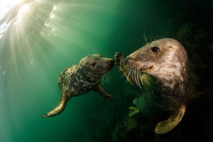 Игривые серые тюлени - вид, который десятилетиями находился под защитой в Великобритании в соответствии с Законом о сохранении тюленей 1970 года. Острова Фарн, Соединённое Королевство». / Фото: Грант Томас/oceanphotographyawards.com