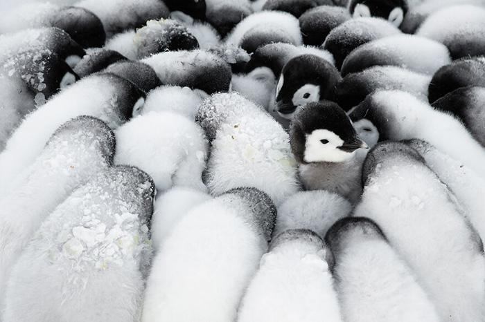 Пингвинята. / Фото: Стефан Кристманн/oceanphotographyawards.com
