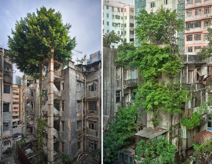 Деревья, победившие бетон.  Гонконг.