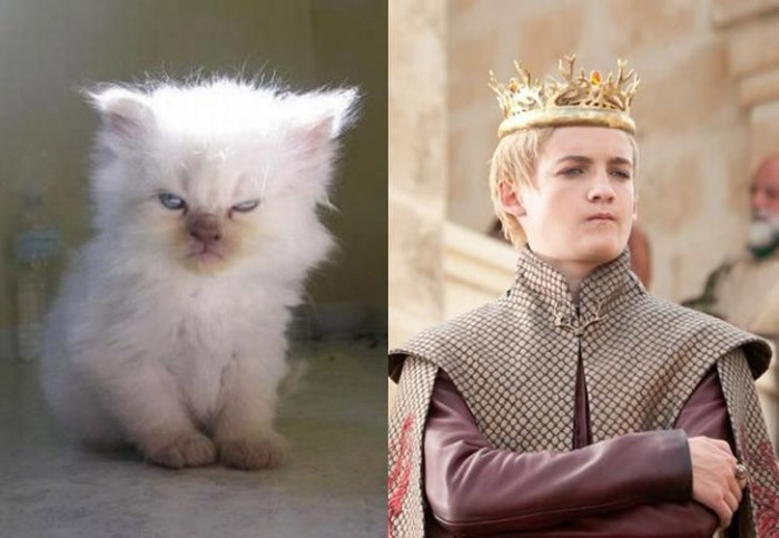 Надменный котенок с голубыми глазами, не уступает своим величием королю Джоффри.