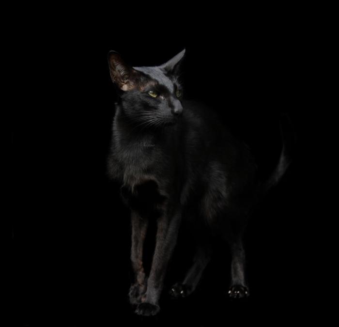 Элегантный черный кот.