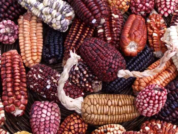 Изобилие сортов кукурузы. \ Фото: emaze.com.