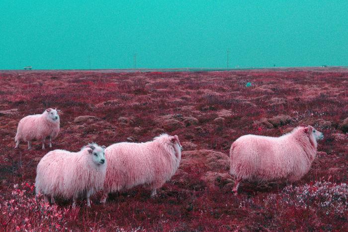 Исландские козочки. Автор: Al Mefer.