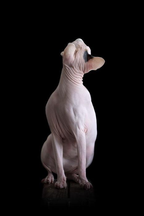 Грациозный сфинкс. Фото Alicia Rius.