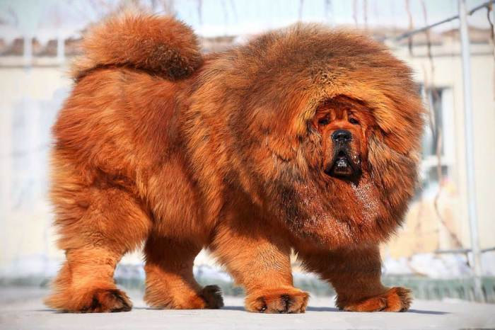 Настоящий лев среди собак. | Фото: disktrend.com.
