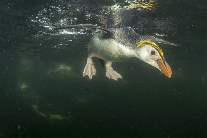 Королевский пингвин. Автор: Justin Gilligan.