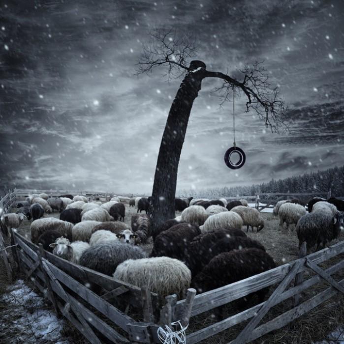 Овечки. Фотохудожник  Караш Йонуц (Caras Ionut).