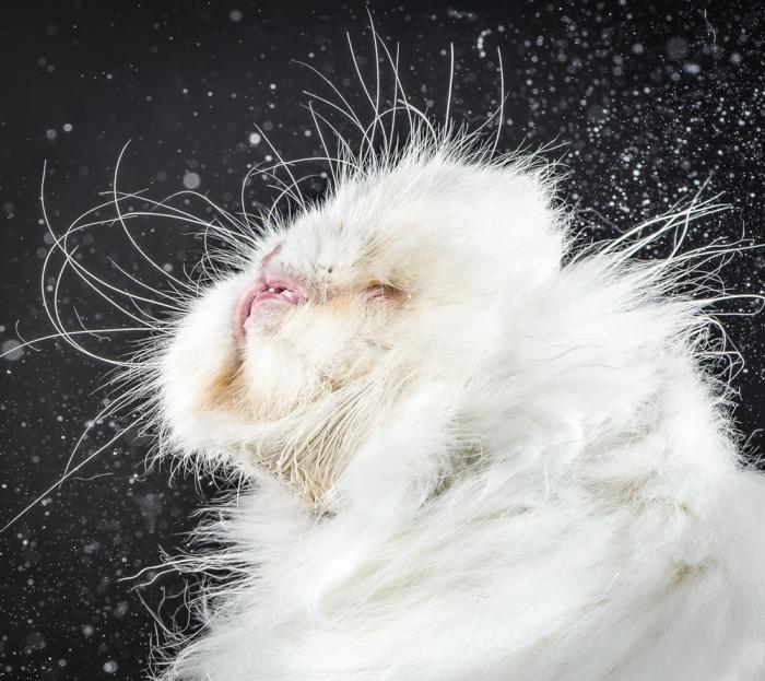 На фото: Лоракс (Lorax). Фото-проект «Shake Cats» от фотографа Карли Дэвидсона (Carli Davidson).