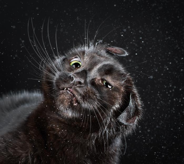 На фото: Йоши (Yushi). Фото-проект «Shake Cats» от фотографа Карли Дэвидсона (Carli Davidson).