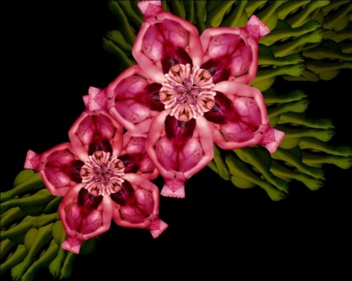 Розовые цветы. Автор: Cecelia Weber.