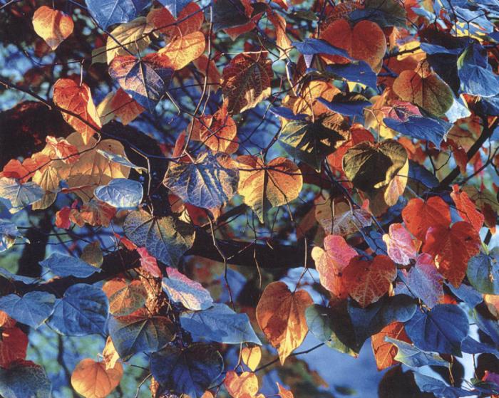 Сияющие листья. Автор: Christopher Burkett.