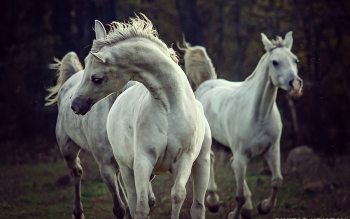 Белые лошади. Автор: Dimitar Hristov.