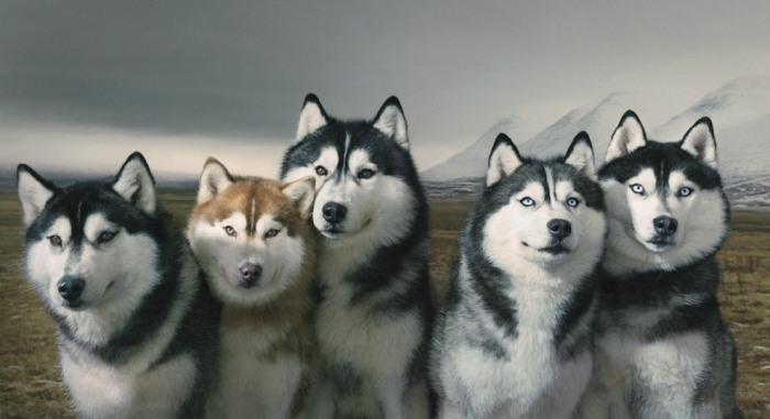 Сибирские хаски. Автор: Tim Flach.