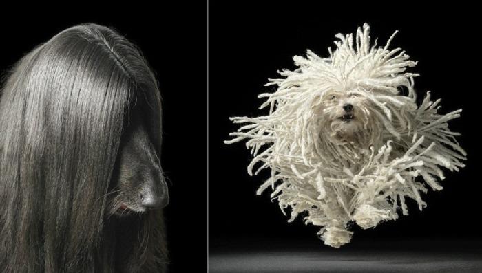 Длинношёрстная  красавица и Собака породы венгерская овчарка в прыжке. Автор: Tim Flach.